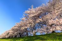 桜咲く京都2018背割堤の桜並木 - 花景色-K.W.C. PhotoBlog