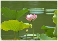 蓮の花季節を感じて - 野鳥の素顔 <野鳥と・・・他、日々の出来事>