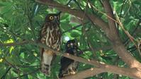 速報:アオバズク雛巣立ちました! - Life with Birds 3