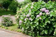 満開の紫陽花とナナカマドの紅葉 - 照片画廊