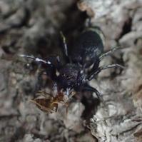 アオオビハエトリSiler cupreus - 写ればおっけー。コンデジで虫写真