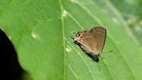 2018信州遠征その3 - 紀州里山の蝶たち
