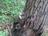 オオムラサキ_オスの戦略 - 秩父の蝶