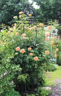 耐暑性の強いイングリッシュローズ - ペコリの庭 *