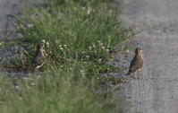 田んぼにてツバメチドリに逢う - 私の鳥撮り散歩