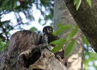 アオバズクの様子を見に - 私の鳥撮り散歩
