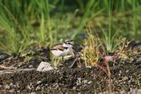 田んぼの畦道でコチドリの雛が - 私の鳥撮り散歩