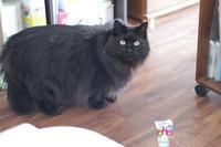 お友達ねこのカムイくん、インタビューされました♪ - きょうだい猫と仲良し暮らし