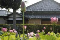 大賀ハスまだ、咲いてました@足立区高野 - みるはな写真くらぶ