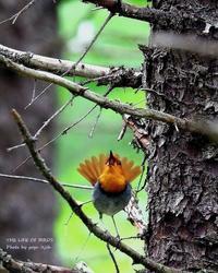 コマドリは渓流沿いおよび石や岩の多い森林でよく見られる - THE LIFE OF BIRDS ー 野鳥つれづれ記