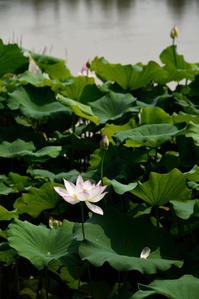 ハスの花 - hanako photograph