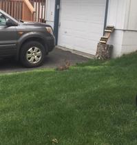 ウサギ - アラスカ便り