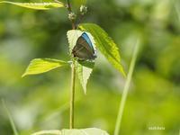 高原のチョウ(1) - 飛騨山脈の自然