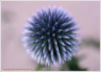 庭に咲く花-20ルリタマアザミイガイガに花が - 野鳥の素顔 <野鳥と・・・他、日々の出来事>