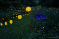 ヒメボタルとアヤメ - 遥かなる月光の旅