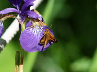 乙女高原のチョウと昆虫 - コーヒー党の野鳥と自然 パート2