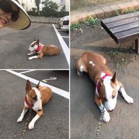 休憩ばかりの朝散歩でかゆくなる - ミニチュアブルテリアダージと一緒2