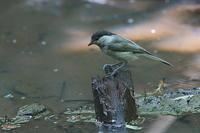 カラ類の幼鳥 - 上州自然散策2