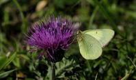 2018信州遠征その5 - 紀州里山の蝶たち