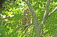 フクロウの親子 - barbersanの野鳥観察