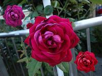 資生堂の薔薇が暑さで日焼けしています。 - 写真で楽しんでます!