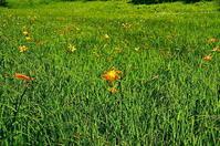 夏ニッコウキスゲ - 風の香に誘われて 風景のふぉと缶