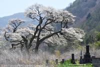 長和町 桜 2 - photograph3
