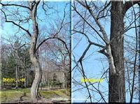 ♪この木~なんの木♪ - 北海道photo一撮り旅