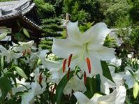 松尾寺のカサブランカ - 彩の気まぐれ写真
