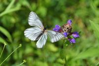 中信の蝶-1(ミヤマシロチョウ・コヒョウモンモドキ:2018/7/10) - 小畔川日記