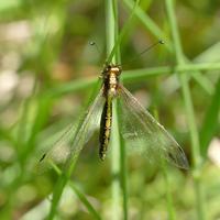 里山公園ツノトンボ - 不定期更新 彩都付近の自然観察日記