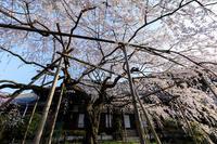 桜咲く京都2018毘沙門堂と山科疎水 - 花景色-K.W.C. PhotoBlog