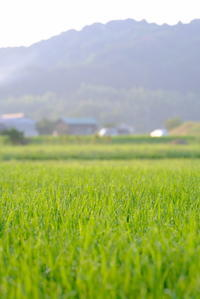早朝、田んぼの稲に朝露です。 - 平凡な日々の中で