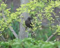 今日の鳥さん 180718 - 万願寺通信