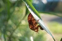 ■ セミの抜け殻   18.7.21 - 舞岡公園の自然2