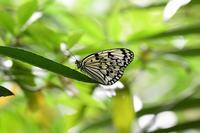 石垣の蝶オオゴマダラとルリウラナミシジミByヒナ - 仲良し夫婦DE生き物ブログ