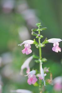 7/20 咲いた咲いた - 「あなたに似た花。」