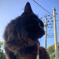 Happy Caturday♪ チョコ坊、朝と夏のご挨拶♪ - 晴れのちチョコ坊、にゃん歩日和!