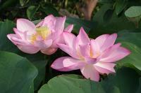 古代蓮が咲く小さなローズガーデン - 季節の風を追いかけて