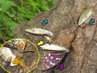 オオムラサキ_オスの求愛 - 秩父の蝶