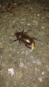 青梅街道の歩道をノコノコ歩いていました - 昆虫ブログ むし探検広場