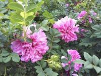 7月の薔薇の作業 - 薔薇のガーデナー Weekend's+Ladybirds