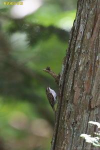 キバシリ - 奥武蔵の自然
