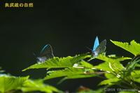 ミドリシジミ - 奥武蔵の自然