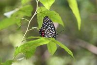 近場のアカボシゴマダラ - Sky Palace -butterfly garden- II