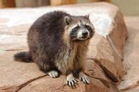 アライグマ「クロ」(井の頭自然文化園) - 続々・動物園ありマス。