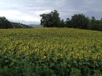 真夏の胃腸炎とひまわり畑 - ボローニャとシチリアのあいだで2
