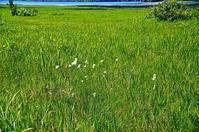 尾瀬沼湖畔のワタスゲ - 風の香に誘われて 風景のふぉと缶