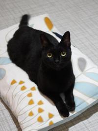 猫のお預かり クロッチちゃん編。 - ゆきねこ猫家族