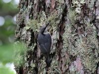 高原でゴジュウカラ - 『彩の国ピンボケ野鳥写真館』